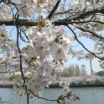 桜の見頃 2009.04.06